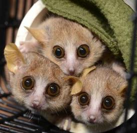 Three mouse lemurs (<i>Microcebus murinus</i>) peer cautiously from their nesting tube at the sound of an approaching Duke Lemur Center technician who might just be carrying snacks.