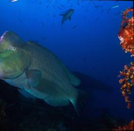 The world's largest parrotfish, the bumphead (<i>Bolbometopon muricatum</i>) is often more than 4 feet long and can weigh in at more than 100 pounds.