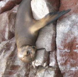 New research shows that tuberculosis likely spread from humans in Africa to seals and sea lions that brought the disease to South America.