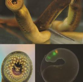 This shows the morphology of an adult sea lamprey (top); the ventral view of the unique oral disc, adapted for a parasitic lifestyle (bottom left); and a transient transgenic lamprey embryo (bottom right).