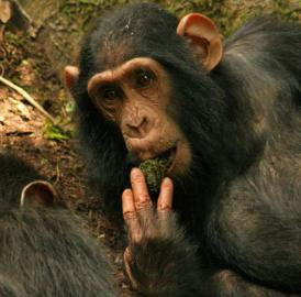 This is individual KB of the Sonso chimpanzee community of the Budongo Forest in Uganda, using a moss-sponge in November 2011, a behavior she learned by observing her mother.