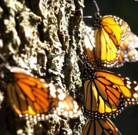 Monarch butterflies are catching the sun on an oyamel tree in a Mexican overwintering site.
