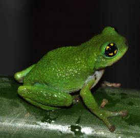 Researchers from the National University of Singapore have discovered a new reproductive mode in frogs and toads -- breeding and laying direct developing eggs in live bamboo with narrow openings -- which was observed in the white spotted bush frog (<i>Raorchestes chalazodes</i>).