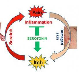 In the vicious cycle of itching and scratching, we scratch an itch to cause minor pain in the skin, and then the brain releases serotonin in response to that pain. However, in addition to tamping down pain, serotonin also reacts with receptors on neurons that carry itch signals to the brain, making itching worse.