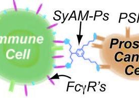 SyAMs recognize disease cells and bind with a specific protein on their surface. They also bind with a receptor on an immune cell.