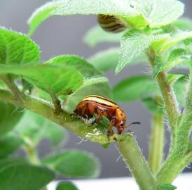 Colorado potato beetle (<i>Leptinotarsa decemlineata</i>): On average 40 to 50 cm2 of leaf material are eaten by each of the beetles' larvae. Infestation with Colorado potato beetles can result in crop losses up to 50 percent, if there is no pest control.