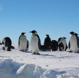 A group of emperor penguins is resting and preening next to a tide crack in the ice near the Gould Bay colony.
