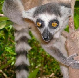 This is a ring-tailed lemur (<i>Lemur catta</i>) indigenous only to Madagascar. UC's Brooke Crowley is researching lemurs' geographic mobility.