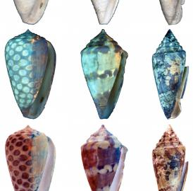Three of the newly described species, <i>Conus carlottae</i> (left column), <i>Conus garrisoni</i> (middle column), and <i>Conus bellacoensis </i>(right column) photographed under regular light (top row) and ultraviolet light (middle row). The brightly fluorescing regions revealed under ultraviolet light would have been darkly pigmented in life (bottom row).
