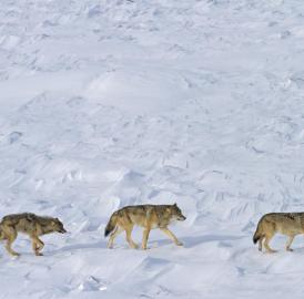 Only three wolves appear to remain at Isle Royale National Park.