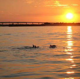 Through intensive photo-ID surveys conducted along the Indian River Lagoon, which were carried out over a six- and-a-half year period, the researchers were able to learn about the association patterns as well as movement behavior and habitat preferences of some 200 individual dolphins.