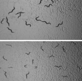 Normal adult <i>C. elegans</i> nematode worms (above) are about 1 mm in length. Adults that had been starved for 8 days early in their larval development (below) grow more slowly once feeding is resumed and end up smaller and less fertile.