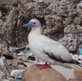 This is a red-footed booby on Christmas Island.