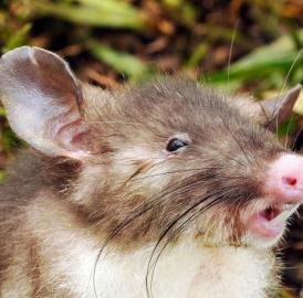 This is the Hog-nosed rat, <i>Hyorhinomys stuempkei</i>, discovered by LSU Museum of Natural Science Mammal Curator Jake Esselstyn and colleagues on Sulawesi Island, Indonesia.