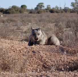 This is a southern hairy-nosed wombat on its burrow in Australia's Murraylands.