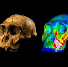 "The fossilized skull of <i>Australopithecus sediba</i> specimen MH1 and a finite element model of its cranium depicting strains experienced during a simulated bite on its premolars. ""Warm"" colors indicate regions of high strain, ""cool"" colors indicate regions of low strain."