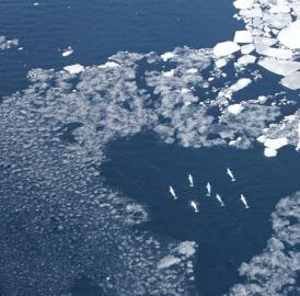 Belugas were observed among West Greenland sea ice.