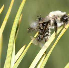 Two males of the twisted-winged parasite <i>Stylops ovinae</i> compete for one female hidden in the abdomen of a mining bee.
