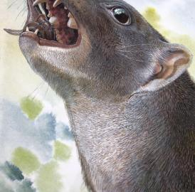 This is a reconstruction of the 15 million year old Malleodectes from Riversleigh chomping down on what appears to have been its favourite food -- snails. The massive, shell-cracking premolar tooth is clearly visible in the open mouth.