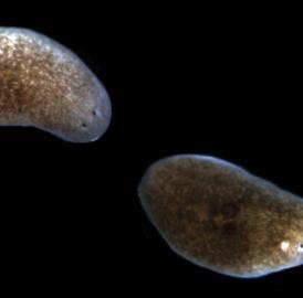 This image shows the progression of lesions and tissue resorption in planarians when exposed to pathogenic bacteria. The normal animal is to the left, while the middle animal displays a characteristic head lesion, and the animal on the right has already lost its head to bacterial infection.