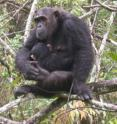 Chimpanzees living at Mahale Mountains National Park have been suffering from a respiratory disease that is likely caused by a variant of a human paramyxovirus.