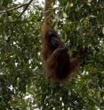 Endangered wild orangutan populations are declining more sharply in Sumatra and Borneo than previously estimated, according to new findings published this month by Great Ape Trust of Iowa scientist Dr. Serge Wich and other orangutan conservation experts.
