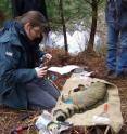 Nina Klar put a transmitter to an anesthetized wildcat to monitor the moving patters. Clearly visible is the bushier hair and the dark rings at tail . This is the best way to differentiate wildcats from the domesticated cats.
