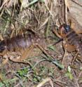 A pair of giant weta in which the male is carrying a radio-tag on his back.