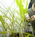 Postdoctoral fellow Dafu Wang examines photosynthesis in corn and Miscanthus in controlled simulated cold conditions.