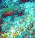 The redband parrotfish was one of the species studied as part of research into the importance of diversity for the health of coral reefs.
