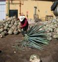 Pictured is a jimador at a tequila distillery.
