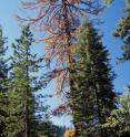 An old-growth sugar pine in the Sierra Nevada Range in California dies after a bark beetle attack. Warmer temperatures that reduce snow pack, prolong drought and favors insects could be affecting trees.