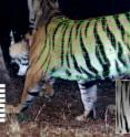 This is a three-dimensional model fitted to a camera trap image of a tiger.