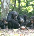 A chimpanzee mother cracks a nut using a rock hammer and anvil in Republic of Guinea.