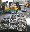 These are moi, or Pacific threadfin, being sorted for market after harvest from an offshore aquaculture cage in Hawaii.