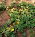 These squash plants are showing yellowing signs of zucchinni yellow virus.