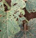 This image shows cucumber beetle damage to leaves.