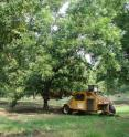 Mechanical thinning of pecan trees is shown using a tree shaker with a hydraulic shaker head.