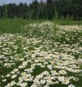 Mayweed chamomile is a non-native species that has exhibited an impressive response to climate change by adjusting its flowering time response to be much earlier in the year. It is not yet classified as an invasive plant, but dominates the landscape in various parts of the northeastern United States (shown here in Concord, Mass.).