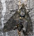 A giant hawk moth blends in with the bark of a tree.