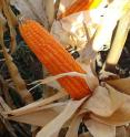 The intense orange color of high pro-vitamin A maize is caused by high carotenoid content.