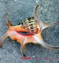 This is a <i>Lambis chiragra<i>, or spider conch, from China.