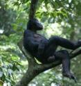 Camillo is the highest ranking male bonobo of the study group. He is often seen in his mother's company.