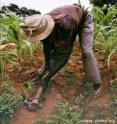 A worker hoes crops in Africa.