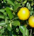 Researchers found ways to extend late-season harvest of popular Florida 'Valencia' oranges.