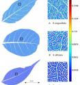 Three leaves show the results of vein segmentation and analysis. The zoomed-in regions on the right correspond to the area within the black square of the leaf to the left. Yellow and red colors indicate an increasing distance of areoles from the nearest vein.