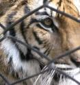 Tigers are one of Earth's most critically endangered species.  Extinction of the majority of such species would indicate the sixth mass extinction is in our near future.