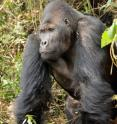 The Grauer's gorilla is the world's largest gorilla (silverbacks such as this one can grow up to 500 pounds in weight) as well as the least known due to the insecurity of its range in the eastern Democratic Republic of Congo.
