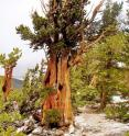 Bristlecone trees, such as this over a thousand-year-old tree in the Great Basin National Park, contributed to the tree-ring record on El Niño.