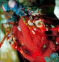 This is a picture of a peacock mantis shrimp in the ocean.